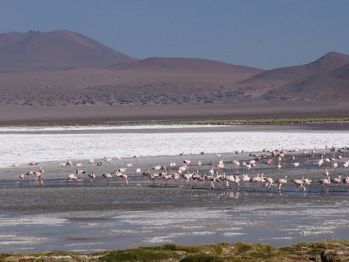 laguna colorada flamants roses